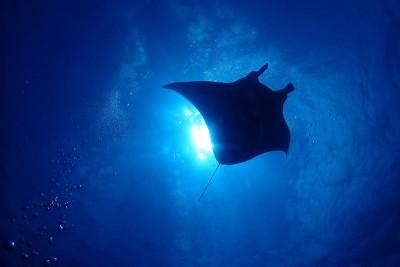 マンタと大接近!今回はたくさんのマンタの群れと遭遇できた石垣島ダイビング!